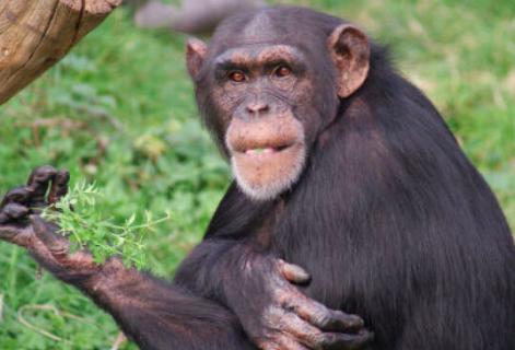 małpka i jej ewolucja w człowieka