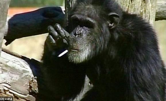 małpka - szympans
